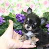 Chihuahuas Sold In 2005 : 6 galleries with 248 photos