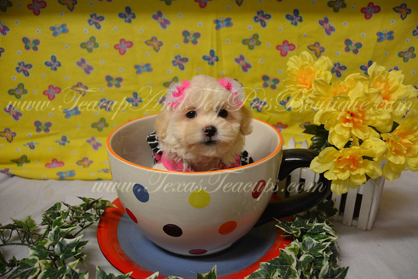 SOLD To Mistie L Female Daisy Puppy # 2838