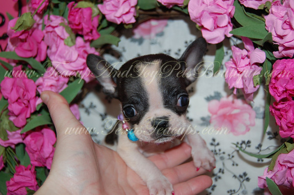 French Bulldog Photos and Videos