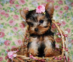 MORKIE Puppies Photo and Videos