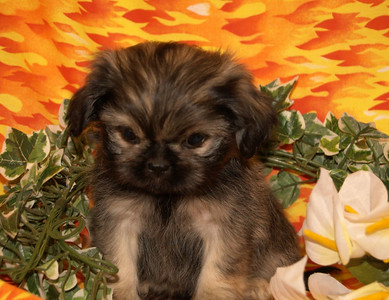 sold to Caleb D.  PUPPY NUMBER ( # Peek A Poo 65-CL-2006 ) Breed: Peek A Poo SIZE:  Small Toy SEX: Male PRICE: $1075.00