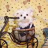 DONATED TO CHILDRENS CHORUS OF GREATER DALLASTiny Teacup Maltese Puppy # 2304 -Catherine Z.- : The puppy is this photo gallery has found a home and is no longer available for sale or adoption.