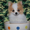 POMERANIAN ( Photo gallery of Previously Sold Puppies ) : 42 galleries with 564 photos