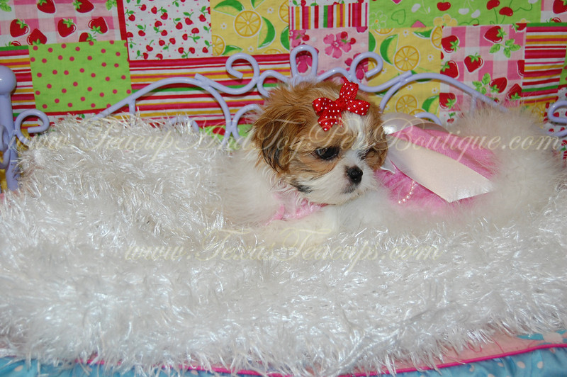Teacup Puppies For Sale : Photo Keywords : shih tzu for sale tx