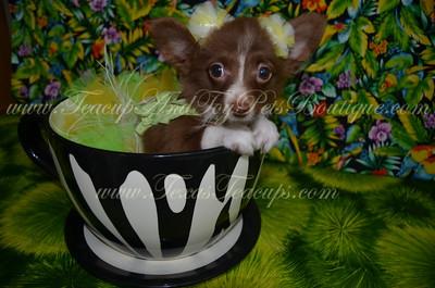 2015 Chihuahuas Sold