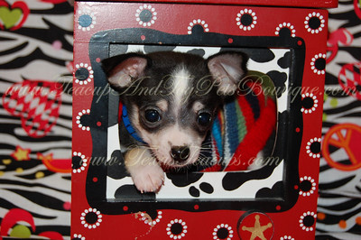Chihuahua Puppies Sold At A Reduced Price