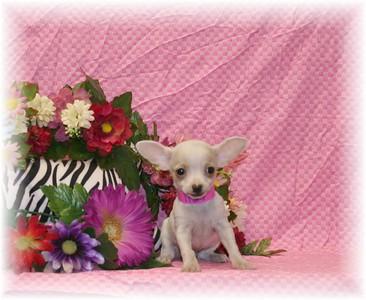 2006 Chihuahuas Sold