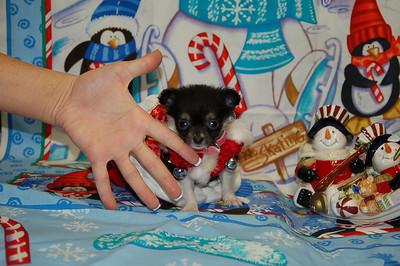 2007 Chihuahuas Sold