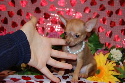2008 Chihuahuas Sold