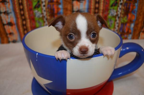 Puppy # 2896 Long Coat Chihuahua M