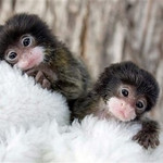 In this August 2009 handout photograph provided by The Denver Zoo, emperor tamarin monkey twins Lara and Lucy look on from their home in the zoo's nursery. The twins are being cared for by zookeepers after they were orphaned on July 30 when their mother died from cancer, three weeks after giving birth to the pair. (AP Photo/HO, The Denver Zoo, Dave Parsons)