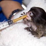 In this August 2009 handout photograph provided by The Denver Zoo, one of the emperor tamarin monkey twins is fed by a member of the zoo's staff. Zookeepers and staff members are working to care for the twins, who were orphaned after the death of their mother from cancer on July 30, three weeks after the pair were born. The female twins, who are named Lara and Lucy, are hand fed a special primate formula from a syringe with a nipple as well as some solids. (AP Photo/The Denver Zoo, Dave Parsons)