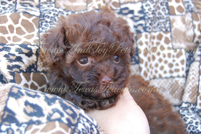 PUPPY NUMBER # 2594 My New Owners Name: Darr Heath Puppy's Name: Loki Date Sold : July 2012 FROM:Forney, Texas BREED: Maltipoo SEX: Male COLOR: Chocolate DATE OF BIRTH: 5/19/2012 Pet Boutique Sales Representative: Tracea Customer Comments:  If you purchase a puppy in this photo gallery and would like for us to add your puppy's name and comments to the puppy you have purchased.  Send an e-mail with your full name, puppy's name and puppy number to us along with any comments you would like to add to your puppies photo. You may also send photos of your family members with or without puppy and we will add it to your puppy's photo gallery.   ==== ( TeacupPets@TexasTeacups.com ) ====  This Photo is copyright protected by: http://www.TexasTeacups.com
