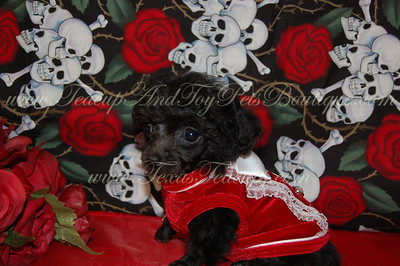 PUPPY NUMBER # 2541 My New Owners Name: Jean & Morgan Finley Puppy's Name: Fluffums Date Sold : July 2012 FROM:  Mesquite, Texas BREED: Poodle SEX: Male COLOR: Black DATE OF BIRTH: 12/2/2011  Pet Boutique Sales Representative: Tracea If you purchase a puppy in this photo gallery and would like for us to add your puppy's name and comments to the puppy you have purchased.  Send an e-mail with your full name, puppy's name and puppy number to us along with any comments you would like to add to your puppies photo. You may also send photos of your family members with or without puppy and we will add it to your puppy's photo gallery.   ==== ( TeacupPets@TexasTeacups.com ) ====  This Photo is copyright protected by: http://www.TexasTeacups.com  PUPPY NUMBER # 2541